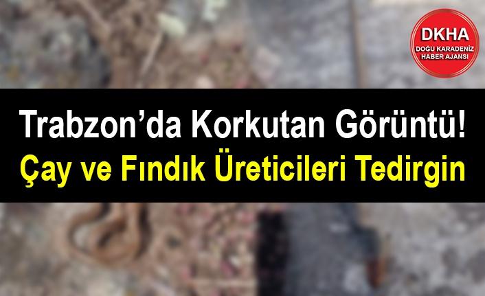 Trabzon'da Korkutan Görüntü! Çay ve Fındık Üreticileri Tedirgin